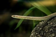 Rat snake (Arvind_S) Tags: nature wild snake reptiles india chennai tamilnadu