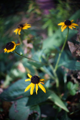 DSC02507 (Old Lenses New Camera) Tags: sony nex7 jvc televisionlens tvlens cine 25mm f2 plants garden flowers blackeyedsusan