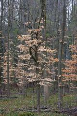 ckuchem-0247 (christine_kuchem) Tags: baumrinde blätter bäume frühjahr frühling frühlingsanemone hainbuche jungpflanze laub laubbäume laubwald pflanzen wald winter jung äste
