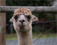 a smiling llama (marneejill) Tags: llama bad teeth underbite funny face closeup domestic