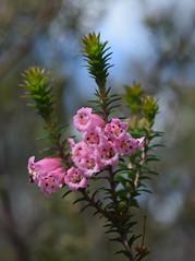 Epacris impressa (dracophylla) Tags: winifredcurtisscamanderreserve tasmania ericaceae epacrisimpressa