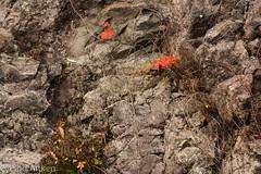 Shenandoah_National_Park (1 of 1)-39 (laitken01) Tags: shenandoahnationalpark2016 leaves leavesonrock rockface