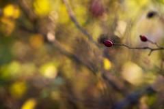 Dove eravamo rimasti? (Raffaella T.) Tags: colori colors bacche berries bosco wood pianta plant cespuglio autunno autumn ottobre october shrub macro canon luce light giorno day