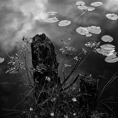 leaves (s_inagaki) Tags: leaves snap nuuksio finland blackandwhite bnw bw