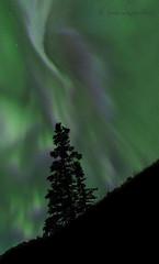 Aurora Tree (martinaschneider) Tags: yukonterritory night nightphotography tree aurora auroraborealis northernlights stars sky