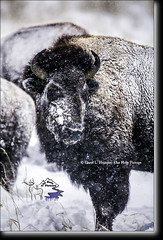 Snowy Bison (Daryl L. Hunter - Hole Picture Photo Safaris) Tags: daryllhunter bison moose unitedstates usa grand teton natonal park jacksonhole greandtetonnationalpark buffalo winter cakedwithsnow snowstorm