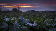 Colza (Brunzolini) Tags: colza raps winterraps field feld agriculture swiss switzerland schweiz hügel hügellandschaft moräne horben aargau tree bäume hecke hedge sunset sonnenuntergang winter cloudy clouds wolken