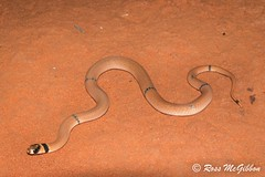 Juvenile ringed brown snake (Pseudonaja modesta) Yulara NT (ross.mcgibbon) Tags: snake serpent canon700d herpetology herpphotography wildlife australia fauna scales habitat squamata reptile reptiles snakes elapid venomoussnakes species tail terrestrial herping nature conservation flora animals animal deserts sand beach sun sunset sky clouds northern southern eastern western red green blue yellow travel outback holiday photography canon wideangle macro slr lens camera photo image shot