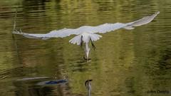 Snached (flintframer) Tags: great egret flight florida wildlife birds feeding nature canon eos 7d mark ii ef100400