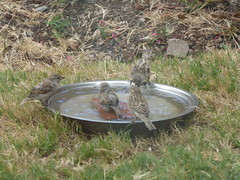 Four sparrows (prondis_in_kenya) Tags: kenya nairobi shortrains bird birdbath sparrow garden water drought splash drink