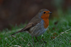 Robin. (stonefaction) Tags: birds nature wildlife fife scotland robin st andrews