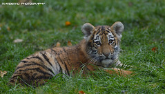 Siberian tiger cub - Zoo Duisburg (Mandenno photography) Tags: dierenpark dierentuin dieren duitsland duisburg zooduisburg tiger tijger tigers tijgers tijgertje welp cub tigercub siberian germany