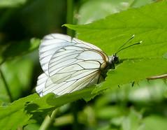 Black-veined White female. Aporia crataegi (gailhampshire) Tags: blackveined white female aporia crataegi taxonomy:binomial=aporiacrataegi