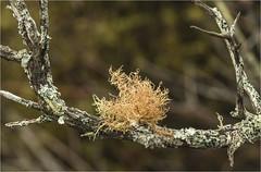Usnea rubicunda, Red Beard Lichen (marlin harms) Tags: usnea lichen usnearubicunda redbeardlichen