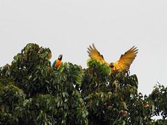 001CG (waldy5897) Tags: guacamayos color olympus puertorico em10 amarillo yellow guaynabo verde macaw green