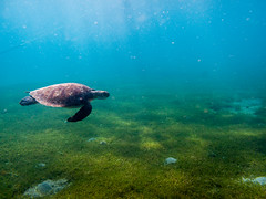 IMG_1128 (christophecavelli) Tags: scale turtle reptil scuba diving ocean
