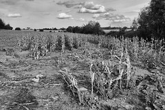 Day #3195 (cazphoto.co.uk) Tags: project366 beyond2922 290916 panasonic lumix dmcgh3 panasonic1235mmf28lumixgxvarioasphpowerois parched dry corn field crops dying birch essex landscape mono monochrome