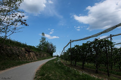 seguendo la curva (Clay Bass) Tags: 1650 saluzzo clouds fuji green jpg rows sky spring street trees xm1