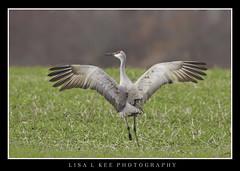 """Happy Dance"" (Lisa L Kee Photography) Tags: lisalkeephotography lisalkee canon canon7d canon500mmf45 500mm indiana jasperpulaski sandhillcranes cranes usfw jasperpulaskifishwildlifearea"