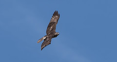 Shoulders of a Red-tail (Bonnie Ott) Tags: redrailedhawk buteo
