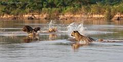Jaguar (Panthera onca) 4/5 (Jeluba) Tags: 2016 brazil brsil canon jaguar matogrosso pantanal nature wildlife panthersonca hunting mammal flin mammifre animal horizontal