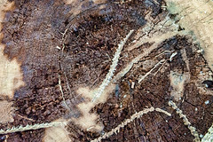 Dying for just another moment (OR_U) Tags: 2016 oru closeup tree rings 100years johnondrasik abstract wood