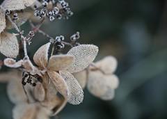 Winter lace (Kez West) Tags: winter frost petals flower hydrangea faded cold frozen november garden