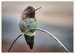 Anna's Hummingbird on Display (gauchocat) Tags: arizonasonoradesertmuseum tucsonarizona