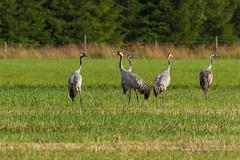 Grues cendrées (Tifaeris) Tags: bird oiseau gruiformes commoncrane grusgrus gruecendrée gruidés