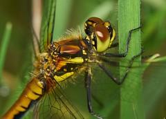 black darter, Sympetrum danae, female (David_W_1971) Tags: olympus bmacro odonataanisoptera