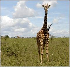 g_AK38937b (KrisFricke) Tags: kenya nairobi safari giraffe nairobinationalpark