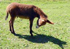 Esel und Eselfohlen (HITSCHKO) Tags: pferde equidae perissodactyla equusasinus hausesel unpaarhufer equusasinusasinus afrikanischeresel
