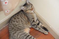 (HotDuckZ) Tags: cat thailand nikon bangkok cx v1 acil nikon1 มิ้ว