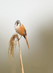 Bearded tit (Mike Mckenzie8) Tags: autumn wild bird canon reeds wildlife norfolk seeds panurus biarmicus reedling