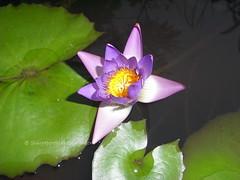 RIMG0080 (singaporeplantslover) Tags: nymphaea   lotus