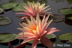 FairySkirt7 (Waterlelie.be) Tags: skirt fairy westvirginia nymphaea fairyskirt verenigdestatenvanamerika noordamerika mikegiles nymphaeafairyskirt