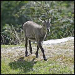 Jeune bouquetin (wilphid) Tags: montagne animaux chamonix parc montblanc sauvage hautesavoie faune leshouches parcdemerlet