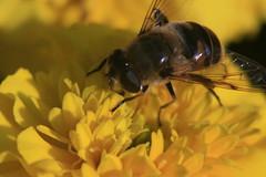 A bee. September 30, 2015 / Пчела. 30 сентября 2015 г.