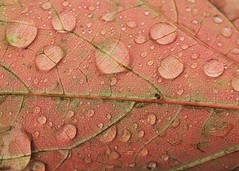 October red (hennessy.barb) Tags: droplets drops leaf closeup veins red orange macro barbhennessy