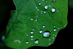 (achala.kaushikkar) Tags: green nature leaves rain portland leaf monsoon raindrops