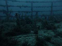 Bream at the Karwela Wreck, Gozo (yayapapaya77) Tags: fish underwater diving malta fisch shipwreck wreck bream mediterraneansea gozo wrack tauchen unterwasser mittelmeer brasse karwela canonpowershotg15 xattl´ahmar karwelawreck