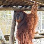 Orangutan thumbnail
