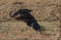 Juvenile Bald Eagle flies off