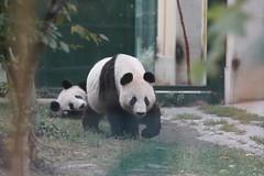 Yang Yang (阳阳/陽陽) and 2-year-old Fu Bao (福豹) 2015-09-24 (kuromimi64) Tags: vienna wien bear zoo austria österreich europe panda giantpanda 動物園 yangyang パンダ ウィーン tiergartenschönbrunn 熊 熊猫 オーストリア ヨーロッパ viennazoo クマ 大熊猫 fubao schönbrunnzoo schoenbrunnzoo ジャイアントパンダ 陽陽 福豹