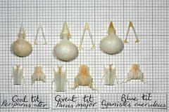 ComparisonTit (JRochester) Tags: blue skeleton skull major tit great bones bone coal alter pelvis caeruleus sternum parus mandible cyanistes periparus