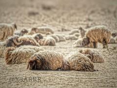 #خروف #خرفان#Sheep #lamb#animal #animals #السعودية #colorful #hdr #nature #photography #petsandanimals #quotesandsayings#حيوانات #حيوان #حياة #بسة #قطة #بستي #نمر #عصفور #طير #طيور #خروف #حديقة #حديقة_حيوانات #بغبغاء #هاشتاقات_انستقرام_العربية #كروان #كنا (photography AbdullahAlSaeed) Tags: nature photography colorful sheep nypd lamb hdr evacuate prosecutor حيوانات petsandanimals السعودية حيوان طير عصفور بستي طيور خرفان نمر jihadists كنار حديقة accomplices قطة حياة بسة خروف lumped بغبغاء كروان تغريد quotesandsayings غرد صفير prayforhumanity حديقةحيوانات هاشتاقاتانستقرامالعربية صفور standwithparis