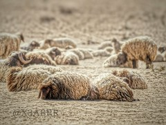 # ##Sheep #lamb#animal #animals # #colorful #hdr #nature #photography #petsandanimals #quotesandsayings# # # # # # # # # # # # #_ # #__ # # (photography AbdullahAlSaeed) Tags: nature photography colorful sheep nypd lamb hdr evacuate prosecutor  petsandanimals         jihadists   accomplices     lumped    quotesandsayings   prayforhumanity    standwithparis