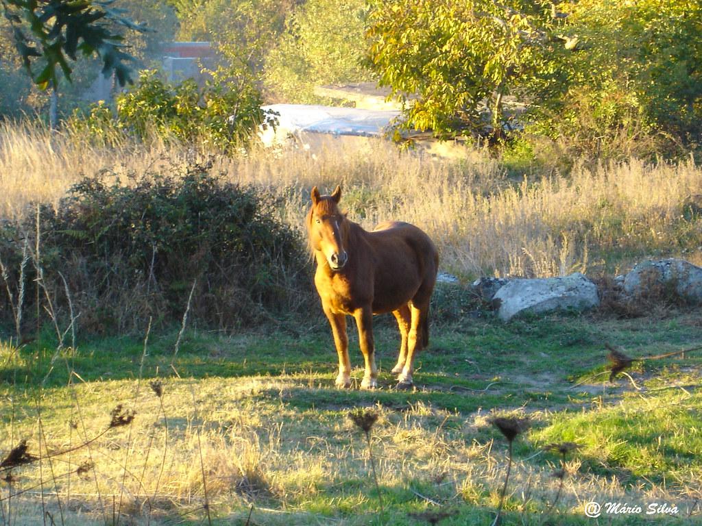 Águas Frias (Chaves) - ... cavalo ao sol outonal ... - nov 2007