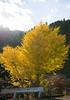 TOKUSHIMA DAYS - Kamikatsu (junog007) Tags: autumn tree yellow japan ginkgo nikon shikoku tokushima autumnalleaves d800 2470mm kamikatsu nanocrystalcoat