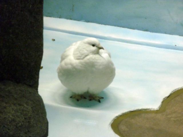 「ライチョウの峰」と名付けられた、雷鳥館の雷鳥。|いしかわ動物園